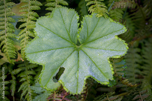 Alchemilla mollis the leaves of lady's mantle after a rain with water droplets Fototapeta