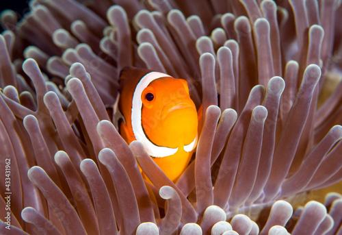 Fényképezés Nemo fish - False Clown Anemonfish (Western Clownfish) - Amphiprion ocellaris in anemone