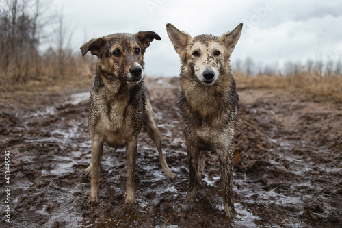 Fotografie, Obraz Very dirty and wet mixed breed shepherd dogs