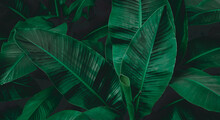 Abstract Banana Leaf Texture, Tropical Leaf Foliage Nature Dark Green Background