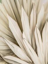 Dried Fan Shaped Tropical Palm Tree Leafs