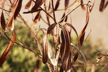 A Beautiful Close-up View Of Acacia Dry Pods.