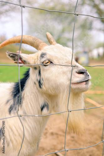 Naklejka premium portrait of a goat