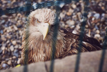 A Huge Vulture Eagle Looks At The Camera Through The Cage Bars Of The Aviary.