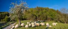 Schafe Unter Blühendem Baum Mit Hirtenhunden