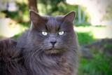 Fototapeta Zwierzęta - Mine coon kot