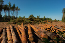 Pine Tree Felling In The Forest, Stacked Trunks Of Cut Trees. Uncontrolled Deforestation.