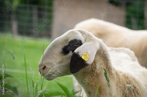 Naklejka premium portrait of a white sheep