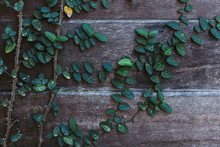 Green Leaf Ivy On The Old Wooden Wall That Is The Fence Of The House