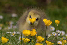 Selective Focus Shot Of A Yellow Duckling In A Green Field