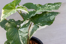 Close Up Leaf Of Houseplant, Syngonium Variegate