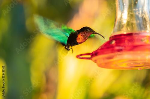Naklejka premium vol de colibri