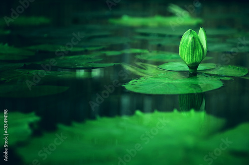 Fototapeta Image of water lily in the pond