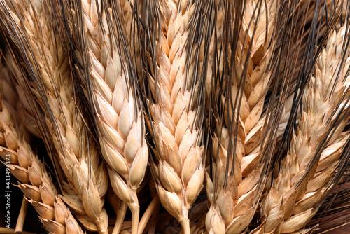 Fotografia, Obraz Spighe di grano duro maturo
