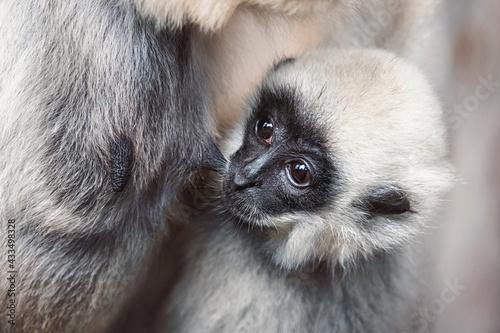 Naklejka premium Close up gibbon