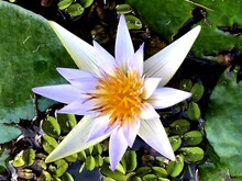 White Water Lily Flower With Orange Center (Nymphaea).