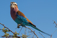Lilac-breasted Roller Bird Sitting On A Perch