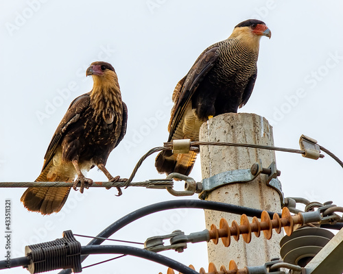 Valokuva Hawks of the species Caracara plancus, aka Carcara or Caracara in Brazil, on a l