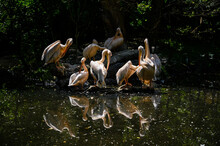Pelicans Resting By The Lake.