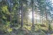 Zachodzące słońce oświetlające swym blaskiem świerkowy, górski las.