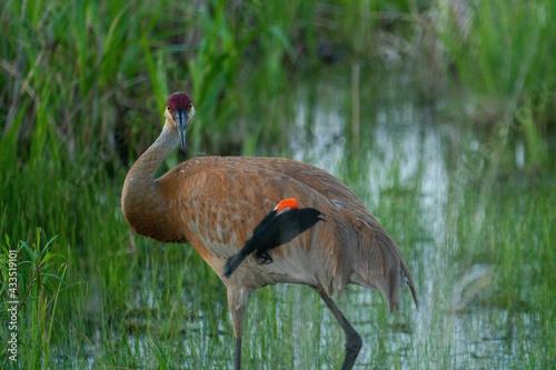 Naklejka premium Sandhill crane and a red-winged blackbird in a pond