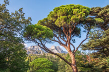 Green Old Cedar Tree With Long Needles On A Background Of Mountains In Cloudy Day. Freshness, Nature, Concept. Pinus Pinea
