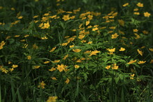 Anemonoides Ranunculoides, Yellow Anemone, Yellow Wood Anemone. Sunny Lawn With Yellow Flowers And Green Foliage In The Springtime. Field With Golden Spring Flowers. Spring Yellow Flowers Background.