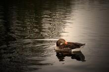 Grey Goose On Calm Lake