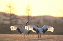翼を広げて向き合うタンチョウ(北海道・鶴居村)