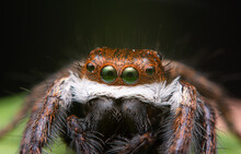 Super Macro Image Of Jumping Spider