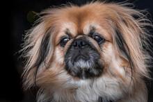 Close Up Photo Of Pekingese Dog On Black Background