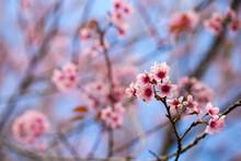 Wild Himalayan Cherry Flower (Prunus Cerasoides), Selective Focus