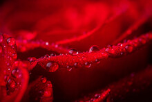 Beautiful Red Roses With Waterdrops. Selective Focus. Shallow Depth Of Field.