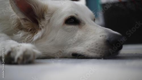 Pies biały owczarek głowa - fototapety na wymiar