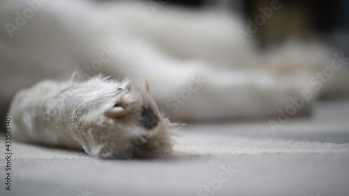 Łapa psa białego dużego - fototapety na wymiar