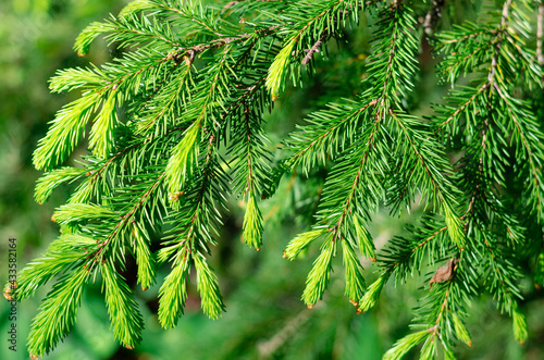 Murais de parede Fresh young coniferous shoots on the branches of a tree