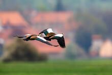 An Egyptian Goose On A Meadow