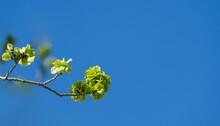 Blooming Branch Of Elm Tree (Ulmus) Against Blue Sky In City Park Krasnodar Or Galitsky Park. Nature Awakening Spring Theme With Copy Space. Selective Focus.