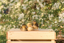 Little Ducklings Sit On A Box In A Blooming Garden In The Village