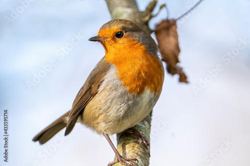 Fototapeta Robin redbreast ( Erithacus rubecula) bird a British garden songbird with a red