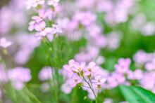 Beautiful Pink Flowers Against The Background Of Green Plants. Summer Background. Soft Focus