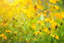 Beautiful Little Butterfly With Yellow Sulfur Cosmos Flowers In The Field