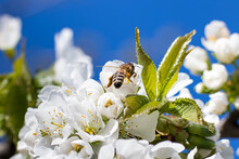 Macro Close-up Bee Pollinates Flowering Apricot Tree, Collects Pollen. Spring Flowering Of Fruit Trees