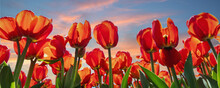 Bottom Pov View Many Beautiful Scenic Growing Red Rose Tulip Flower Field Against Warm Sunset Evening Sky. Traditional Holland Dutch Landscape Background. Horticultire Nature Business. Wide Banner