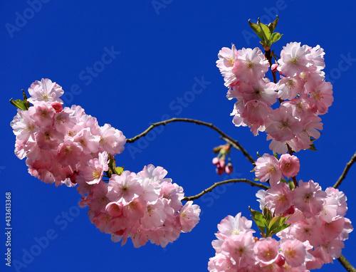 Printemps et floraison du sakura du japon #433613368