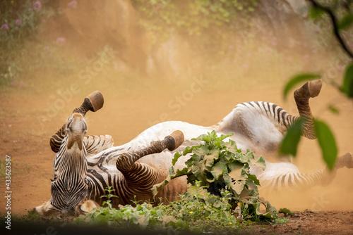 Naklejka premium Grevy's zebra deworming