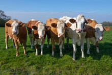 Group Of Curious Young Brown Spotted Cows In The Green Meadow