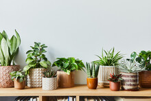 Stylish Composition Of Home Garden Interior Filled A Lot Of Beautiful Plants, Cacti, Succulents, Air Plant In Different Design Pots. Home Gardening Concept Home Jungle. Copy Spcae. Template