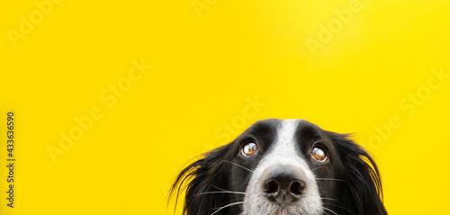 Fototapeta Close-up border collie dog head looking