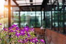 Glory Bush Tree (Tibouchina Urvilleana) Or Brazilian Spider Flower, Lasiandra, Princess Flower, Pleroma, Purple Glory Tree On Blurry Background. Purple Flower Blooming At Cafe Restaurant